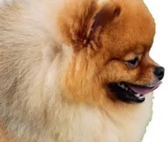 Baby Doll Pomeranian Face Shape