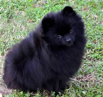 Black Pomeranians Detailed Info Photos Information