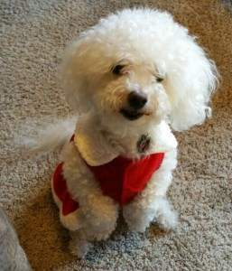 Creative Grooming Done On A Standard Poodle And 2 Bichons