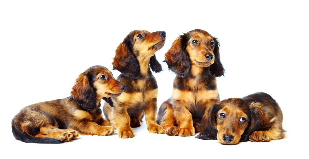 Dachshund Genetics Color Coat And Pattern
