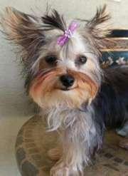 yorkie hair yorkshire terrier