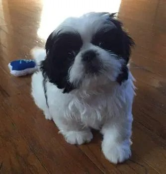 Black And White Shih Tzu Facts And Photos