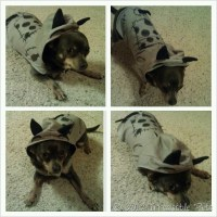 Wordless Wednesday {FrankenCHUY!} - Irresistible Pets
