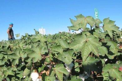 cultivo-algodon-recurso