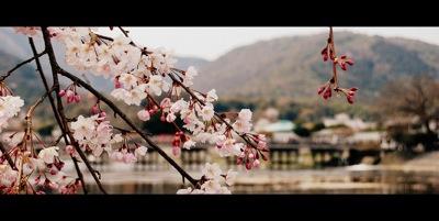 Arashiyama: Sakura & Togetsu-kyo - by jpellgen
