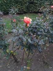 orange_rose_21