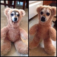 IRTI - funny picture #9242 - tags: dog teddy costume teddy ...