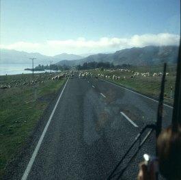 neuseeland-christchurch-schafevorfahrt 2001