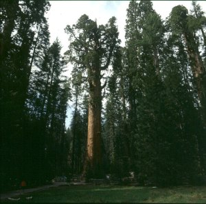 Shermann-Tree- dder größte Mammutbaum