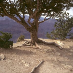 grand-canyon-kiefer