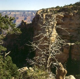 grand-canyon-morgen-kiefer
