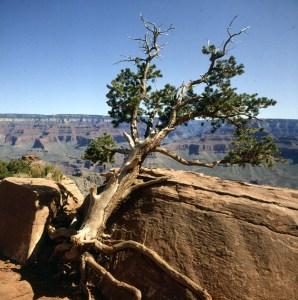 grand-canyon-krüppelkiefer