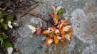 groenland-kurze blütezeit 2007