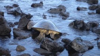 hawaii-Riesenschildkröte geht zu Wasser 084