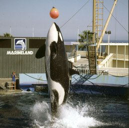 os-angeles-marineland mit orcas