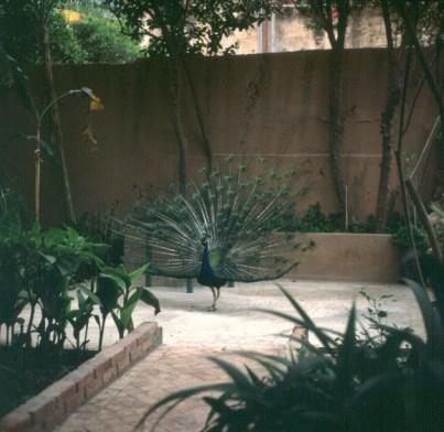 marokko-Taroudant-pfau 1995