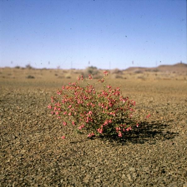 namibia-etoscha-bluetenstrauch 1987