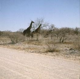 namibia-etoscha-giraffen 1987