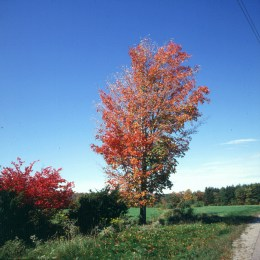 new-hampshire-erste rote bäume