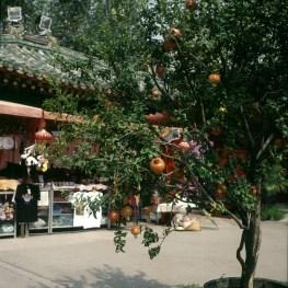 Peking-Granatapfelbaum 2000