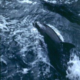 neuseeland milfordsound-delphin 2001