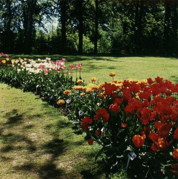seeland-gavnoe-tulpen-beet