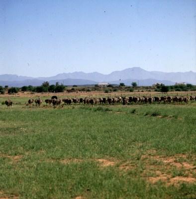 suedafrika-straussenfarm 1987