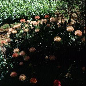 suedafrika-kapstadt--proteen 1987