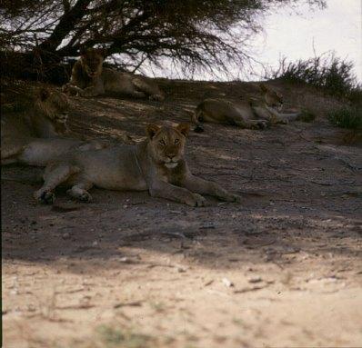 Südafrika Löwen im Gemsbock N.P. 1987