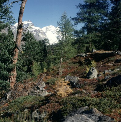 zermatt-wald-herbst-1