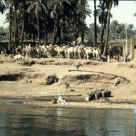 Nil vor Assuan-Kamelherde zur Verschiffung
