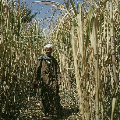 Ägypten Tahib im Maisfeld 1978