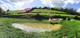 vaches-blanches-bourgogne