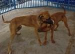 土佐犬と土佐闘犬は別モノ 逮捕された土佐犬襲撃事件の飼い主の悪質さ