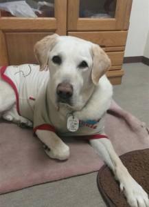 刺された盲導犬オスカー