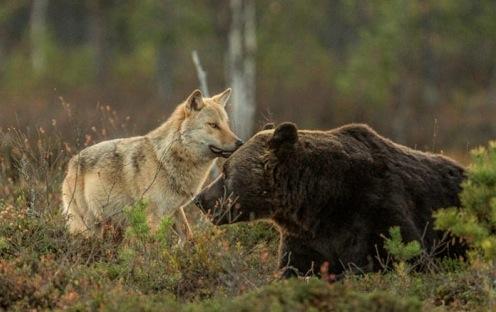 熊と狼が仲良し フィンランド