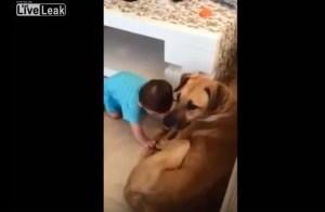 大型犬が赤ちゃんに咬みつく Live Leak