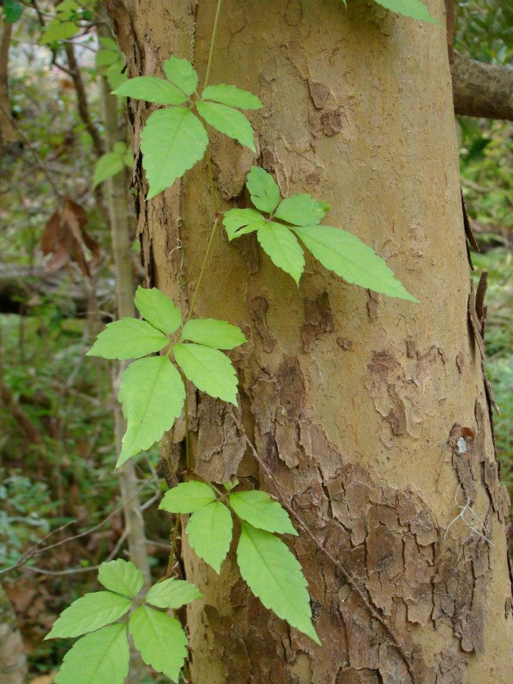 Poison Ivy or Not? | Appalachian Trials