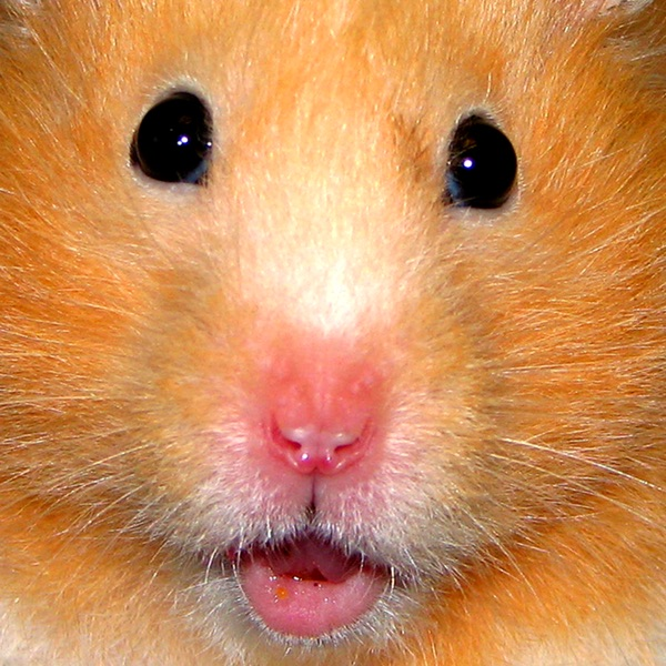 Hamster Jigsaw Puzzles - Educational Toddler Games