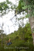 This golden orb web spider, which is about the size of an extended hand, is heading towards a large blue wasp species caught in its web.