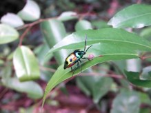 Shield bug (Scutelleride family).
