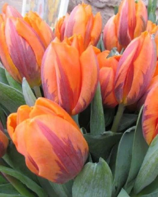 Tulips  Bulbs for kids  Autumn Planting  Bulbs plants
