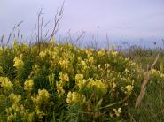 Bedruthan Toadflax