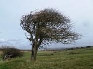 Windblown tree, Freshwater
