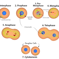 Stages Of Mitosis And Meiosis Diagrams Intertherm Electric Heat Wiring Diagram