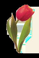 Isabelle logo tulipe