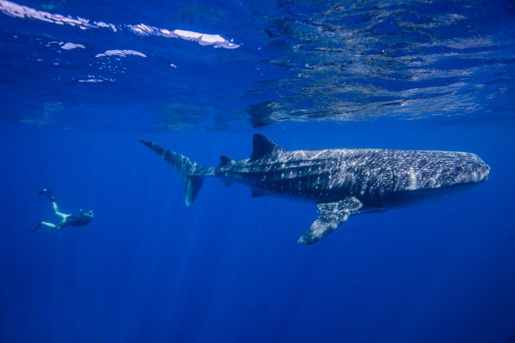 Coral bay requin baleine australie