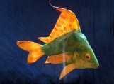 poisson , papier de soie