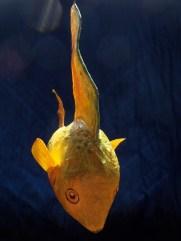poisson citron , papier de soie
