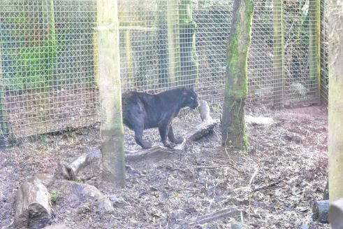 One of the Black Leopards at Exmoor Zoo